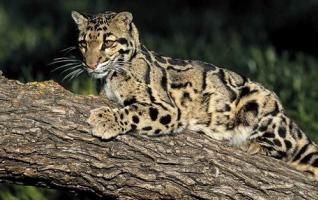 Zhangjiajie Precious Animals-Clouded Leopard