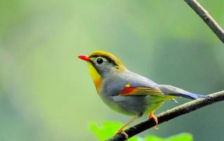Zhangjiajie Red-billed Leiothrix (Love Bird)