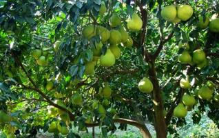 Golden Fragrant Pomelo