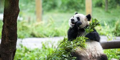 3 Days Chongqing Tour for Ciqikou town-Panda zoo-Dazu-Jiefangbei