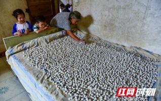 Hunan Distiller's yeast balls